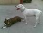 Pitbull Blanco busca hembra