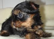 Yorkshire Terrier Cachorritos