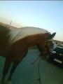 caballo pecheron