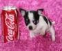 Chihuahua cachorros a la venta.