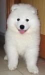 Vendo perros samoyedo