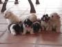 Cachorros de Maltes y otras razas pedigrí en mano