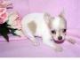 Preciosos Cachorros De Chihuahua.