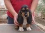 Basset hound camada disponible
