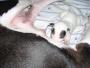 venta de cachorro bull terrier (hembra)