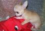 Chihuahua cachorros listos para ser spayed