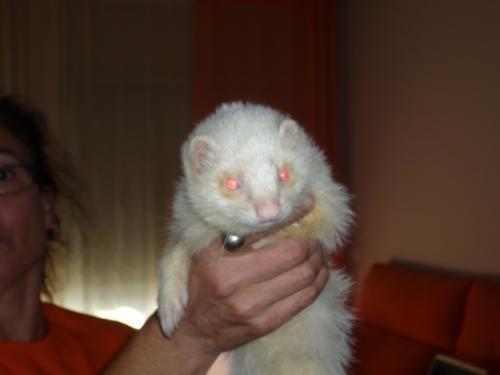 Fotos de vendo huron blanco barcelona animales mascotas for Vendo chihuahua barcelona