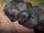 Se venden cachorros de galgo italiano