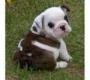 bulldog ingles magnifica camada