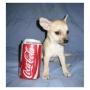Chihuahua cachorros a la venta ahora