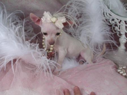 Fotos de Lindo Chihuahua cachorros recién nacidos para su aprobación ...