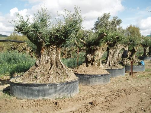 Fotos de olivos centenarios y le a de olivo girona for Viveros en rancagua
