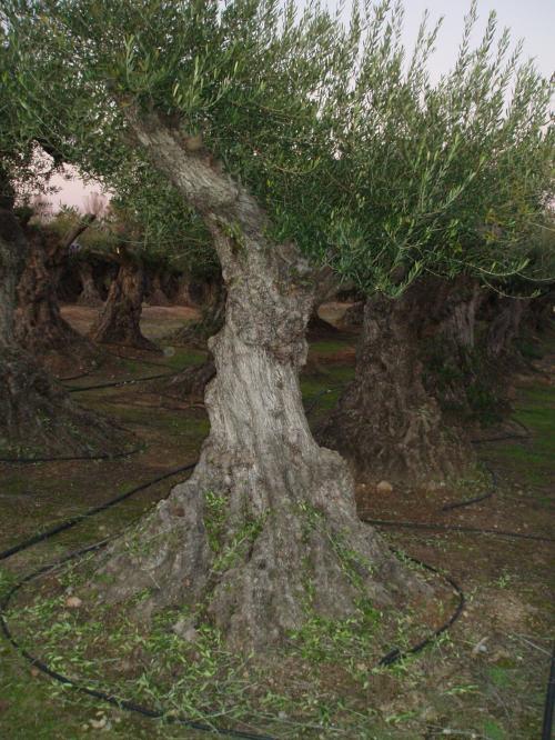 Fotos de olivos centenarios y le a de olivo girona - Compra de olivos centenarios ...