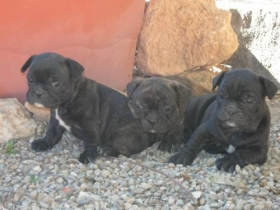 Fotos de BULLDOG FRANCES MURCIA