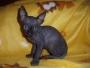 Camda de gatitos Sphynx, se netregan en diciembre 08