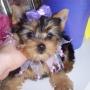Yorkie adorable cachorro para la venta.