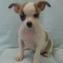 Chihuahua cachorros en adopciã³n.