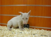 BULLTERRIER HEMBRA PEDIGREE 550?