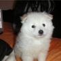 Pomerania blanco macho 450€