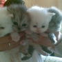 Bonitos gatos persas
