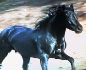 Espectacular caballo pre negro limpio (cubriciones)