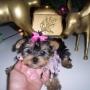 Preciosa taza de tã© femenina yorkie cachorro aprovd para el hogar 100 euros