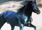 Espectacular caballo pre negro limpio  (cubricion…
