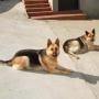 Se vende cachorros de pastor aleman