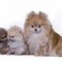 Vendo cachorros pomerania -spitz aleman-