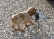 Bretones ideales para caza o compañia