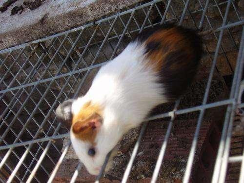 Fotos de Conejos de india de pelo corto 3