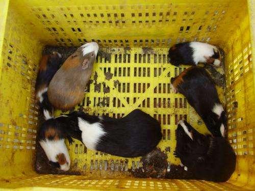 Fotos de Conejos de india de pelo corto 1