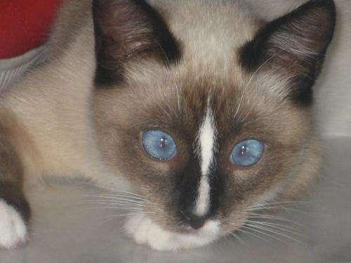 Gato siames mezcla con angora