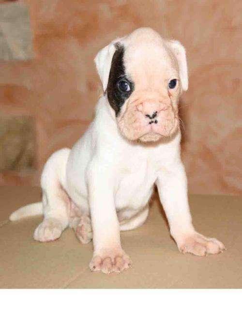 vendo boxer cachorro zaragoza: