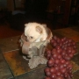 Chihuahua cachorros de regalo