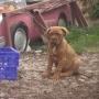 preciosos cachorros de dogo de burdeos