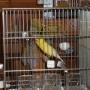 vendo canarios de canto y postura