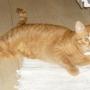gatto tigrado naranja de 2 anos busca casa