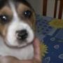 beagle cachorrita tricolor pura raza muy mona y jugetona