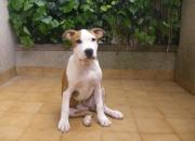 vendo cachorros de amerian staffordshire terrier