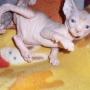 gatos sphynx sin pelo entrega julio 10