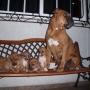 Cachorros cruce de Bóxer