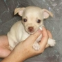 Chihuahuas a precios de risa