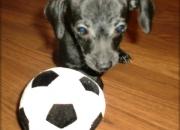 Bastante Buscando Chihuahua cachorros para celebrar la victoria de la copa del mundo.