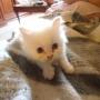 Se venden gatos persa