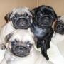 Fantasticos cachorros de CARLINOS ,muy economico....