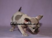 cachorro de gato sphynx macho