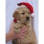 lindo golden Retriever cachorro buscando una nueva casa de Navidad