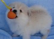 juguetones cachorros pomeranian te mira