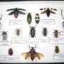 Venta de Cuadros entomológicos (mariposas, escarabajos..)